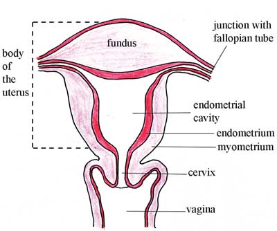 Structure of the empty uterus, showing the four main regions