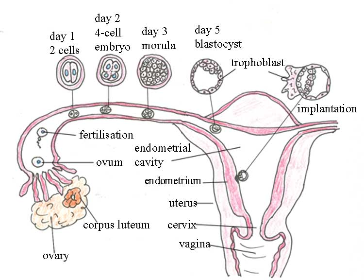 The sequence of fertilisation and implantation in the human female reproductive system