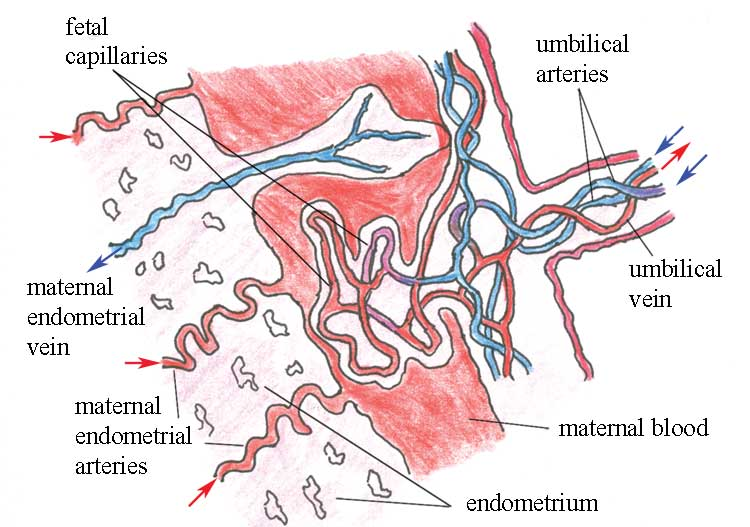 Placental circulation, showing the fetal capillaries bathed in blood from the maternal circulation