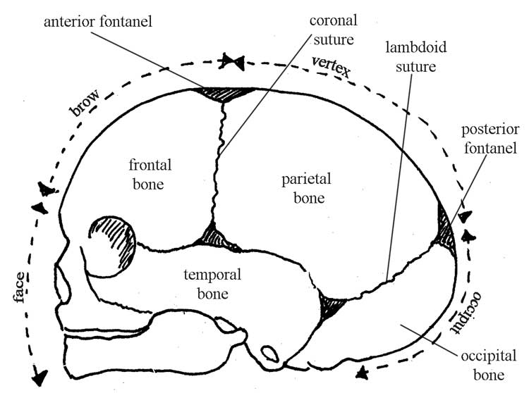 olcreate: heat_anc_et_1.0 antenatal care module: 6. anatomy of the ...  the open university
