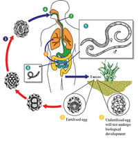 The life cycle of ascaris worms