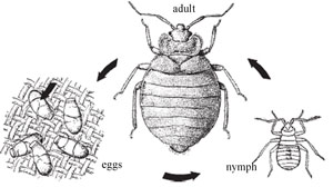 Life cycle of the human body louse