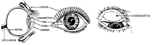 Anatomical structure of the eye