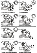 The starting position and the seven cardinal movements of the baby as it descends through the birth canal. The small pictures show the position of the baby's head, as if you were looking up the birth canal.