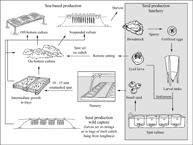 Gigas production cycle from FAO website